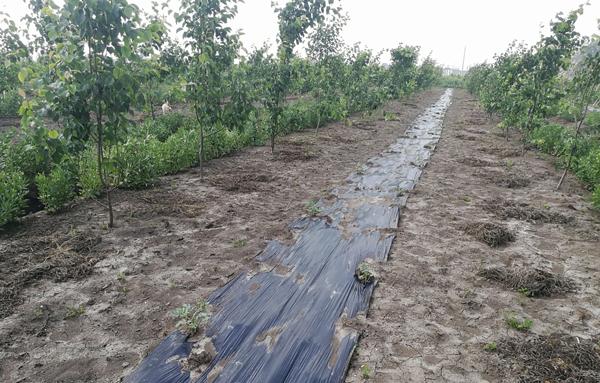 桃树套种西瓜