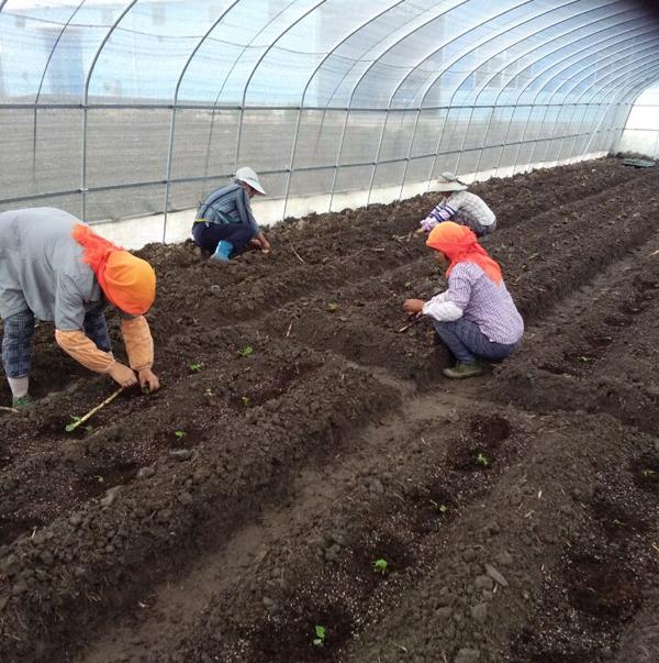 龙香芋脱毒苗示范种植